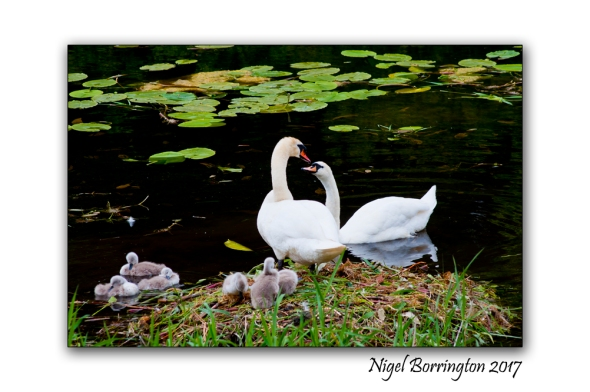 Swans at Oak Park County Carlow Nigel Borrington[