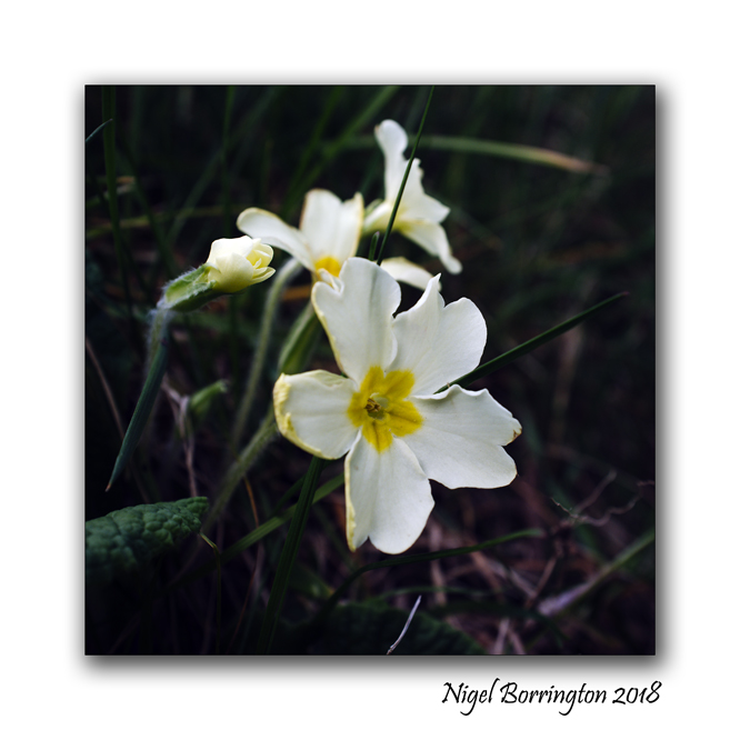 The first flowers of spring the primrose a poem thomas carew the first flowers of spring the primrose a poem thomas carew mightylinksfo